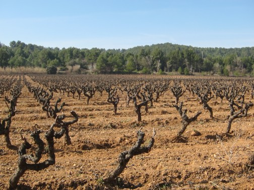 Cava Vines in Penedes