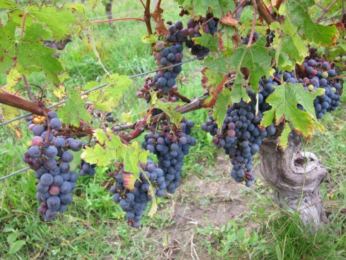 St. Emilion Merlot Vines