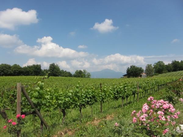 extra large vineyard