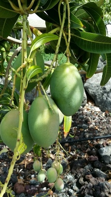 Fresh mango growing in our backyard