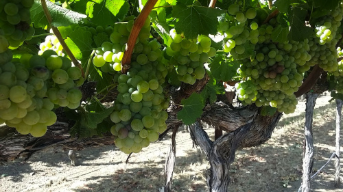 Chardonnay vines at MacMurray Estate