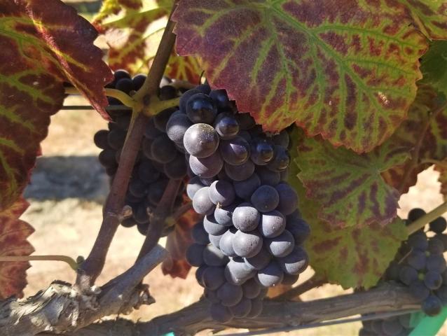 hahn-slh-pinot-noir-vine.jpg